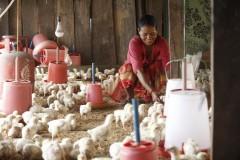 Poultry-Rearing-by-Women-Group-Member-at-Aambhanjyang-Makawanpur-3-Medium