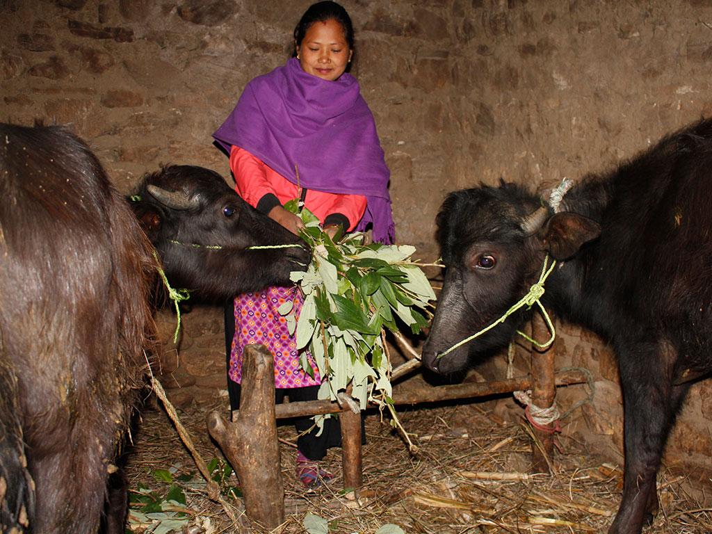 Buffalow Farming by Women Group Member at Bhimphedi, Makawanpur