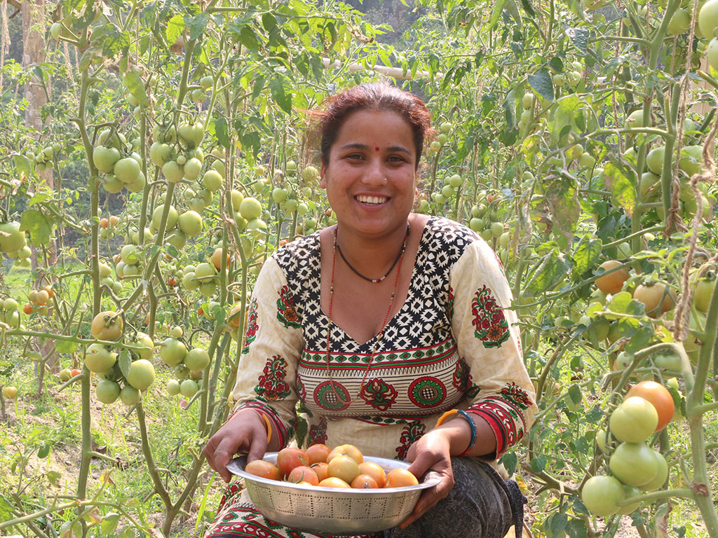 Tomato Farming in Commercial Scale by Women Group Member at Thanapati, Nuwakot